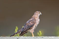 Cooper's Hawk (Kukui Photography) Tags: coopers hawk arizona backyard bird tucson coopershawk