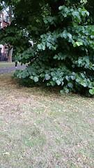 Tree works in 'Stepney green gardens' London E1 (Carol B London) Tags: lbth towerhamlets stepney londone1 e1 stepneygreen trees tree londonplain lime limetrees