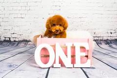 MATCHA LOW-6 (Michiez Chua Petography) Tags: poodle toypoodle singaporedog singapore redpoodle cute dog dogs canon 35mm studio studioshoot dogshoot