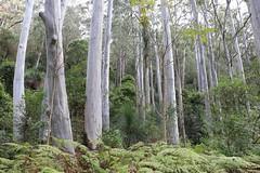 Sydney Blue Gum (Eucalyptus saligna) (Poytr) Tags: mountcabrebald barringtontopsnationalpark barringtontops dungognsw dungog arfp nswrfp qrfp toonaciliata toona redcedar australianredcedar meliaceae marginalarfp outdoor landscape forest tree plant bluegumflat sydneybluegum