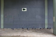 Birds (@mvkooten) Tags: bird birds vogel vogels duif duiven pigeon pigeons dove doves