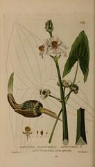 n121_w1150 (BioDivLibrary) Tags: floras flowers greatbritain medicinalplants plants newyorkbotanicalgardenluesthertmertzlibrary bhl:page=48855821 dc:identifier=httpbiodiversitylibraryorgpage48855821 sagittariasagittifolia arrowhead