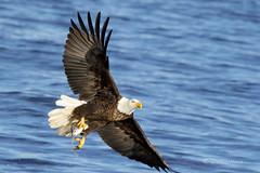 Adult Eagle (david.horst.7) Tags: eagle river mississippi raptor americanbaldeagle fish wildlife ld14