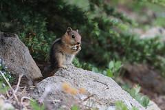 Golden-Mantled Ground Squirrel (fksr) Tags: goldenmantledgroundsquirrel callospermophiluslateralis feeding eating craterlakenationalpark oregon