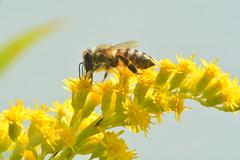 DSC_0198_Honigbiene (Helmut Stegmann) Tags: honigbiene biene honeybee insekt insect tiere insekten honig natur wildlife wald wiese gelb kenko telekonverter dachau bayern oberbayern deutschland bee