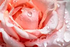 Wet Rose (kuhnmi) Tags: drop drops tropfen trpfchen waterdrop wassertropfen rose flower blume blte blossom plant pflanze nature natur macro makro macrophotography makrofotographie garden garten pink rosa rosarot palered