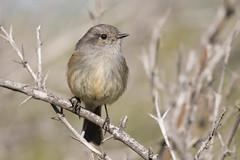 Viudita (ik_kil) Tags: viudita patagoniantyrant colorhamphusparvirostris parquemahuida regiónmetropolitana avesdechile birds tyrant chile
