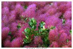 sommaco in fiore (Giorgio Serodine) Tags: sommaco fiori coloreforte trieste carso canon ramo foglie digiorno allaperto