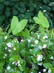Lisle, IL, Morton Arboretum, Plant Medley (Mary Warren (7.2+ Million Views)) Tags: lisleil mortonarboretum nature flora plants leaves blooms blossoms flowers white begonias