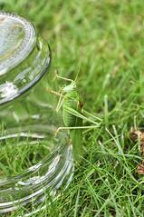 The Grasshopper Lies Heavy (reflexer) Tags: deutschland europa heuschrecke hoyerswerda sachsen tier animal insect insekt grashüpfer grasshopper green grün wiese glas glass animalplanet