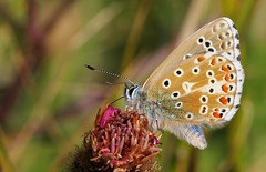 Adonis Blue 240816 (1) (Richard Collier - Wildlife and Travel Photography) Tags: macro adonisblue butterflies insects wildlife naturalhistory british blue