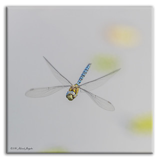 Migrant Hawker Dragonfly in flight - face view (Aeshna mixta) m [Explored]