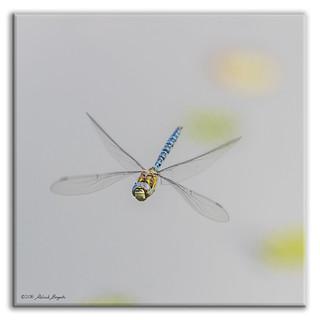 Migrant Hawker Dragonfly in flight - face view (Aeshna mixta) m [Explored]