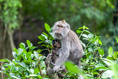 Schuilen bij moeder (Bart Weerdenburg) Tags: ubud bali indonesia asia aap monkey monkeys macaque monkeyforest forest bos rain regen weer weather nature nationalgeographic greymonkey baby
