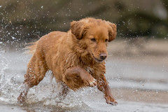 cooling off (Bea Antoni) Tags: zoomlens canoneos7dmarkii canonef70200mmf4lisusm canon novascotiaducktollingretriever watersplash water action haustier pet dog hund