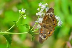 Spread Wings (thefisch1) Tags: wings spread moth butterfly open top view feeding kansas flint hills landing perched flower nikon
