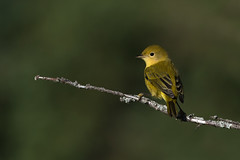 Yellow Warbler (PeterBrannon) Tags: americanyellowwarbler bird dendroicapetechia nature smallyellowbird wildlife yellowsongbird yellowwarbler princeedwardisland tracadiebay