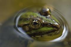 Frog. (5300foto) Tags: kikker frog water naature natuur nederland netherlands holland nikon laowa 60mm macro closeup
