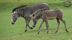 Zebra and Foal (dracolady1) Tags: dslrcamera nikond5300 marwellzoo hampshire zebra foal