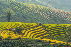 Y9522.0916.Xím Vàng.Bắc Yên.Sơn La (hoanglongphoto) Tags: asia asian vietnam northvietnam northwestvietnam outdoor landscape scenery terraces terracedfields harvest terracedfieldsinvietnam terracedfieldsinsonla terracedfieldsximvang hill hillside caonon canoneos1dx afternoon sunlight sunnyafternoon terracedscene tâybắc sơnla bắcyên xímvàng phongcảnh ngoàitrời ruộngbậcthang lúachín mùagặt buổichiều nắng nắngchiều ngọnđồi sườnđồi dãyđồi vietnamscenery vietnamlandscape ruộngbậcthangxímvàng ruộngbậcthangsơnla phongcảnhsơnla phongcảnhbắcyên canonef100400mmf4556lisusmlens curve curves đườngcong abstract trừtượng