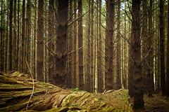 Land  of the Ewoks (cupitt1) Tags: fuji x pro 1 1650mm canopy pine trees radiata moss lichen wet damp green verdant barringtons national park state forest barringtonnp stateforest