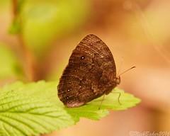 9086.jpg (laba laba) Tags: bicyclus vulgaris bicyclusvulgaris africa cameroon cameroun bertoua dondi butterfly insect nature rainforest macro closeup
