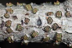 fungus (myriorama) Tags: beech fungus ascomycete ascomycota xylariales diatrypevirescens