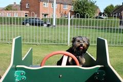 Flo Yorkie Poo Puppy  Royce Playing Field Princess Avenue Oakham Rutland (@oakhamuk) Tags: flo yorkiepoo puppy royceplayingfield princessavenue oakham rutland martinbrookes