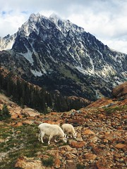 Mountain Goats (Stephanie Meshke) Tags: washington hiking alpinelakeswilderness wenatcheenationalforest mountaingoats goats mountain mtstuart lakeingalls
