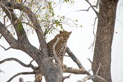 DSC_4189.JPG (manuel.schellenberg) Tags: namibia etosha animal nationalpark leopard