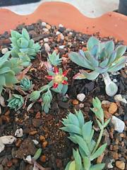 suculenta (Rodrigo Ribeiro) Tags: flower flor garden gardening jardim jardinagem flores