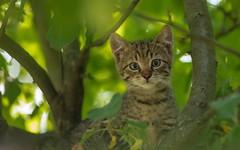 kittens (22) (Vlado Ferenčić) Tags: kitty kittens cats catsdogs animals animalplanet zagorje hrvatska hrvatskozagorje croatia nikond600 nikkor8020028