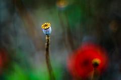 Second Life (hploeckl) Tags: pentacon fall automn mohn poppy vintage botanicalgarden switzerland stgallen nikon d750 bokeh abstract abstrakt