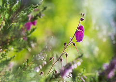Last bells (Ali's view) Tags: heather flower layers colour morning dew closeup macro august alisonhall