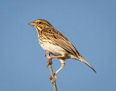 Savannah Sparrow (tresed47) Tags: 2016 201609sep 20160913bombayhookmisc birds bombayhook canon7d content delaware folder peterscamera petersphotos places savannahsparrow sparrow takenby us