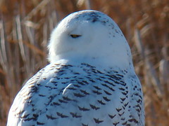 I've Got My Eye On You! (USFWS Mountain Prairie) Tags: snowy owl bigsky usfws refuge wildliferefuge nationalwildliferefuge fws bentonlake montanawildlife bentonlakenationalwildliferefuge nwrs