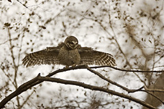 ADS_45 (dickysingh) Tags: wild india color bird nature horizontal wings eyes display wildlife owl stare predator alert ranthambore spottedowlet athenebrama ranthambhorenationalpark threatdisplay smallowl wwwranthambhorecom