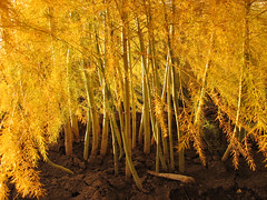 Autumn Asparagus (Habub3) Tags: travel autumn holiday plant canon germany deutschland search reisen europa europe stuttgart urlaub herbst powershot asparagus vacanze spargel g12 fellbach serach 2013 habub3