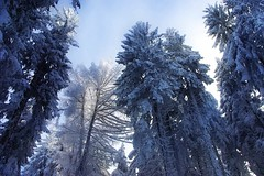 Winter in Alsace -1- (mamietherese1) Tags: alsace winterbeauty treesdiestandingup theacademytreealley