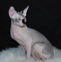 Nocoatkitty Sphynx Cats (nocoatkitty sphynx cats) Tags: cats kitten kittens sphynx