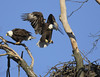I'm out of here! (Mike and Dee Brown) Tags: ohio flying nest bald eagles raptors pinelakeeagles