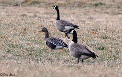 Greater White-fronted Goose 16 Feb 13 9 (VMI Biology Department) Tags: 16feb13