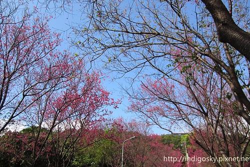 北投賞櫻-IMG_8408