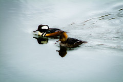Male & Female Hooded Mergansers (Paul T. Marsh/PositivePaul) Tags: color bird animal olympia manualfocus hoodedmerganser nisquallywildliferefuge supertelephoto 2013 animalbehavior fujis3pro manualmetering lightroom3 wwwpaulmphotographycom paulmarshphotography nikon400mmf35ais