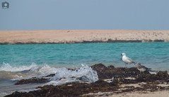 (Abdulrahman AlShetwi) Tags: sea bird beach birds island gull saudi arabia land mew                                        alshetwi