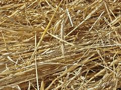 paja - cebada - cereal- avena - trigo - centeno - espiga - heno - Galicia