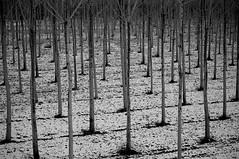 Trees (andreagiube / Andrea Giubelli) Tags: wood trees snow alberi forest neve bosco foresta