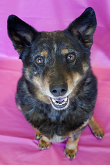 Chloe the Discarded Queensland Heeler mix (Immature Animals) Tags: arizona rescue dog baby smile smiling animal mutt tucson shepherd australian center marshall pima derek bark queensland pup aussie care heeler neuter spay koalition pacc eyedots barktucson
