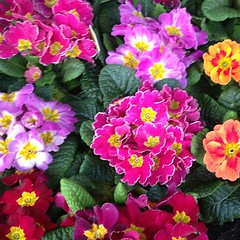 """Hot grocery store #flowers #spring #colors #primroses • <a style=""""font-size:0.8em;"""" href=""""https://www.flickr.com/photos/61640076@N04/8509512251/"""" target=""""_blank"""">View on Flickr</a>"""