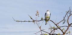 Etosha National Park Namibia (guido.menato) Tags: africa park sky bird rain safari national namibia etosha blackshoulderedkite
